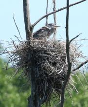 A great blue heron on a nest at SVT's Lyons-Cutler Reservation in Sudbury, photographed by Steve Forman.