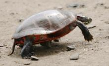 A painted turtle at Hager Pond in Marlborough, photographed by Steve Forman.