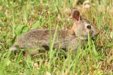 A cotton-tailed rabbit at Waseeka Wildlife Sanctuary in Hopkinton, photographed by Steve Forman.