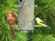 A northern cardinal and an American goldfinch at a feeder in Lincoln, photographed by Harold McAleer.