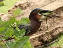 A green heron with a fish at Hager Pond in Marlborough, photographed by Steve Forman.