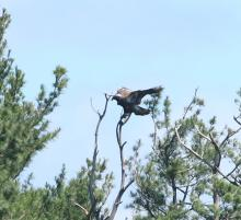 An immature bald eagle at Foss Reservoir in Framingham, photographed by Steve Forman.