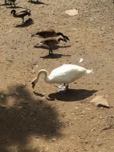 Canada geese and a mute swan at Hager Pond in Marlborough, photographed by Ginny Hutchison?