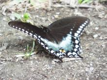 A spicebush swallowtail at Prouty Woods in Littleton, photographed by Robin Right.