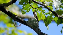 Ruby-throated hummingbirds at a nest in Sudbury, photographed by Russ Place.