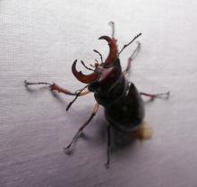 A common stag beetle in Lincoln, photographed by Norm Levey.