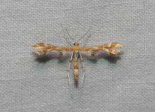 Grape Plume Moth, G. periscelidactylus. Less than 3/4 of an inch. Photo by Norm Levey.