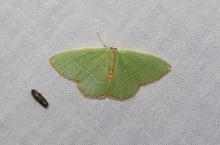 Red-fringed Emerald, N. bistriaria. Slightly less than one inch wingspan. Photo by Norm Levey.