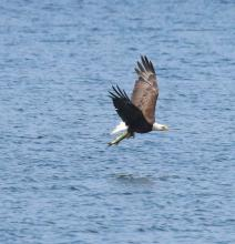 A bald eagle at Foss Reservoir in Framingham, photographed by Steve Forman.