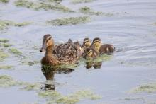 Mallards at Hager Pond in Marlborough, photographed by Sue Feldberg.