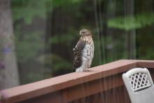 A Cooper's hawk in Bolton, photographed by Millie Rothman.