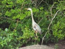 A great blue heron at Bare Hill Pond in Harvard, photographed by Robin Right.
