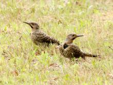Northern flickers at Breakneck Hill Conservation Land in Southborough, photographed by Steve Forman.