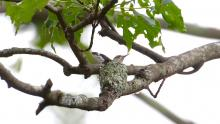 A ruby-throated hummingbird nest in Sudbury, photographed by Russ Place.