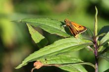 A Delaware skipper at Greenways Conservation Area in Wayland, photographed by Michael Newton.
