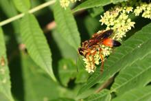 A great golden digger wasp at Greenways Conservation Area in Wayland, photographed by Michael Newton.