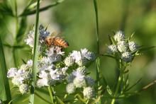 A honey bee at Greenways Conservation Area in Wayland, photographed by Michael Newton.