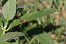 A milkweed beetle at Greenways Conservation Area in Wayland, photographed by Michael Newton.