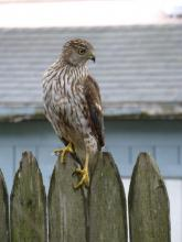 A Cooper's hawk in Framingham, photographed by Michele Matties.