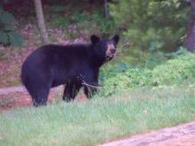 An American black bear in Bolton, photographed by Rick Merrill.
