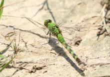 An eastern pondhawk at Breakneck Hill Conservation Land in Southborough, photographed by Steve Forman.