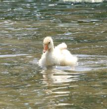 A domestic goose gosling at Hager Pond in Marlborough, photographed by Steve Forman.