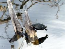 A painted turtle at Farrar Pond in Lincoln, photographed by Harold McAleer.