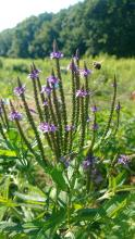 A bumble bee pollinating blue vervain at SVT's Greenways Conservation Area in Wayland, photographed by Jesse Koyen.