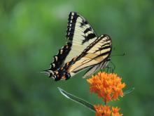 An eastern tiger swallowtail in Sudbury, photographed by Dave Longland.