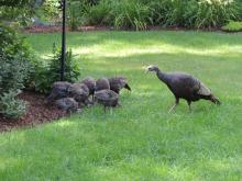 Turkeys in Sudbury, photographed by Dave Longland.