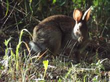 A cotton-tailed rabbit in Harvard, photographed by Robin Right.