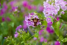 A hummingbird clearwing moth in Sudbury, photographed by Dawn Dentzer.
