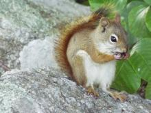 A red squirrel in Harvard, photographed by Robin Right.
