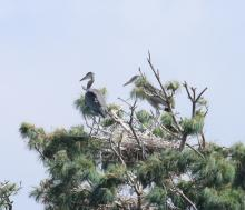 Great blue herons at Sudbury Reservoir in Southborough, photographed by Steve Forman.
