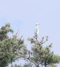 A great egret at Sudbury Reservoir in Southborough, photographed by Steve Forman.