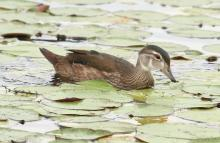 A wood duck at Farm Pond in Framingham, photographed by Steve Forman.