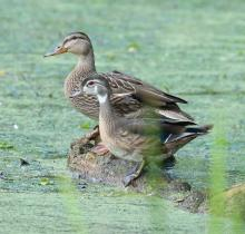 A wood duck (front) and a mallard at Grist Mill Pond in Sudbury, photographed by Steve Forman.