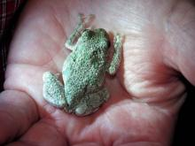 A gray tree frog in Harvard, photographed by Robin Right.