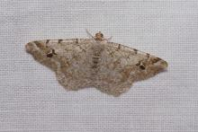 Family Geometridae, Subfamily Ennominae, Genus Macaria, 20mm. Photographed by Norman Levey.