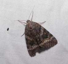 Family Noctuidae, Genus Catocala, 30mm. Photographed by Norman Levey.