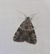 Family Noctuidae, Genus Catocala, 24mm. Photographed by Norman Levey.