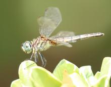 A blue dasher at Tower Hill in Boylston, photographed by Steve Forman.