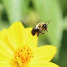 A bumble bee at Tower Hill in Boylston, photographed by Steve Forman.