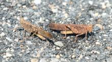 Grasshoppers at Tower Hill in Boylston, photographed by Steve Forman.