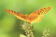 A great spangled fritillary at Tower Hill in Boylston, photographed by Steve Forman.