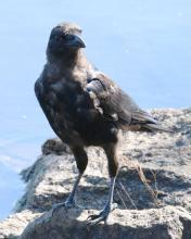 An American crow at Foss Reservoir in Framingham, photographed by Steve Forman.