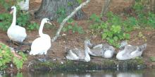 Mute Swans at Grist Mill Pond in Sudbury, photographed by Steve Forman.