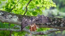 A red-tailed hawk with a gray squirrel in Sudbury, photographed by Russ Place.