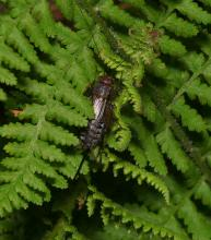 Probable Allard's ground cricket Allonemobius allardi, female. Photographed by Norman Levey.