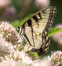 An eastern tiger swallowtail at Mass Audubon's Drumlin Farm Wildlife Sanctuary in Lincoln, photographed by Steve Forman.
